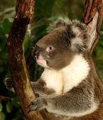 Koala in Tree — Stock Photo