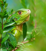 Curious Iguana — Stock Photo