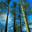 Forest pine. — Stock Photo #10444064