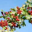Ripe whitethorn - Stock Photo