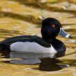 Ring-necked Duck (Aythya collaris) — Stock Photo