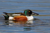 Northern Shoveler (Anas clypeata) — Stock Photo