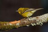 Pine Warbler (Dendroica pinus) — Stock Photo
