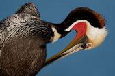 Brown Pelican Preening (Pelecanus occidentalis) — Stock Photo