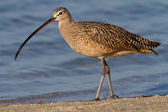 Long-billed Curlew (Numenius americanus) — Stock Photo