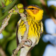 Stock Photo: Cape May Warbler (Dendroictigrina)