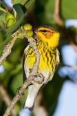 Cape May Warbler (Dendroica tigrina) — Stock Photo