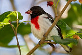Rose-breasted Grosbeak (Pheucticus ludovicianus) — Stock Photo