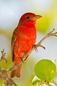 Summer Tanager (Piranga rubra) — Stock Photo