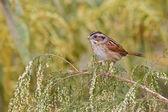 Swamp Sparrow (Melospiza georgiana) — Stock Photo