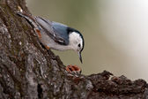 White-breasted Nuthatch (Sitta carolinensis) — 图库照片