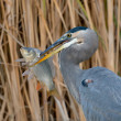 Great Blue Heron (Ardea herodias) — Stock Photo