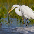 Great Egret (Ardea alba) — Stock Photo