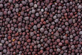 Black Mustard Seeds (Brassica nigra) — Stock Photo