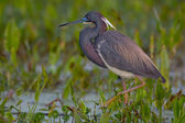 Tricolored Heron (Egretta tricolor) — Stock Photo