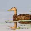Mottled Duck (Anas Fulvigula) - Stock Photo