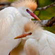Cattle Egrets (Bubulcus ibis) - Stock Photo
