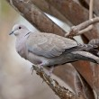 Eurasian Collard Dove (Streptopelia decaocto) — Stock Photo