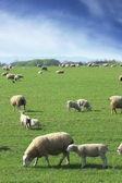 Sheep & Lambs grazing — Stock Photo