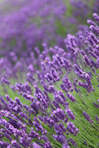 Lavender close-up in field — Stock Photo