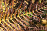 Fern in autumn — Stock Photo