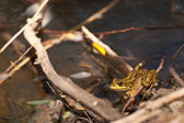 Frog in the Sun on the Twigs in the Forest Stream — Stock Photo