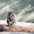 Japanese macaque monkey - Stock Photo