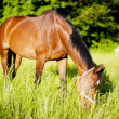 Horse surrounded by grasslands in Poland — Stock Photo #10594831