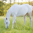 Horse surrounded by grasslands in Poland — Stock Photo #10594878