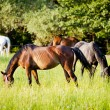 Group of horses surrounded by grasslands in Poland — Stock Photo #10594911