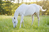 Horse surrounded by grasslands in Poland — Stock Photo