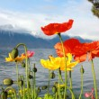 Red and yellow poppies on a lake and snow top mountains background - Stock Photo