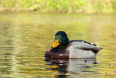 Duck gatchina — Stock Photo