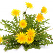 Dandelion — Stock Photo #10463864