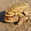 Toads couple — Stock Photo