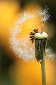Withered dandelion — Stock Photo