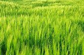 Fresh field — Stock Photo