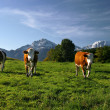 Cows on pasture — Stock Photo #10594276