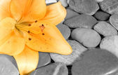 Beautiful blossom of a lily — Stock Photo