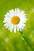 Daisy flower in the garden — Stock Photo