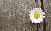 Daisy blossom on old wood — Stock Photo
