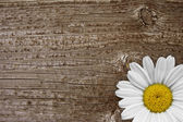 Daisy blossom on old wood — Stock Photo