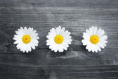Three daisy flowers — Stock Photo
