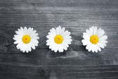 Three daisy flowers — Stock Photo