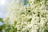 Elder Plant — Stock Photo
