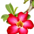 Desert rose flower — Stock Photo