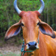 Portrait of zebu cow - Stock Photo