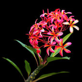 Brilliant pink and orange plumeria — Stock Photo