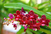 Burgundy orchid — Stock Photo