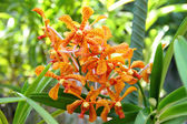 Pomarańczowy mokara orchidea — Zdjęcie stockowe
